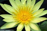 yellow water lilly center poster
