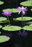 purple water lillies in a pond poster