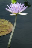 light purple water lilly poster