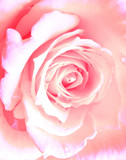 pink rose - 124058