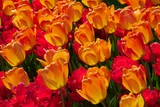 orange and red tulips in the sun poster
