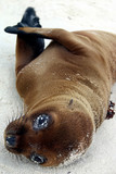 baby sea lion poster