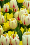 cream and red stulips among yellow spring flowers poster