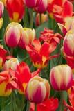 multicolored tulips poster