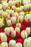 various, multi-colored tulips poster