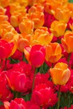 orange and deep red tulips poster