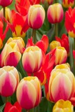 colorful multi-colored tulips poster