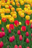field of delicate red and yellow tulips poster