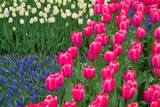 row of pini,/purple tulips poster