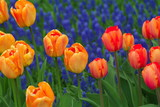 red, orange and yellow tulips poster