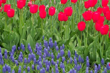 deep red tulips and purple flowers