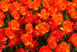bright orange tulips poster