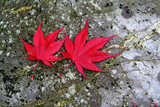 two maple leaves poster