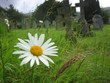 flower in graveyard - 130673