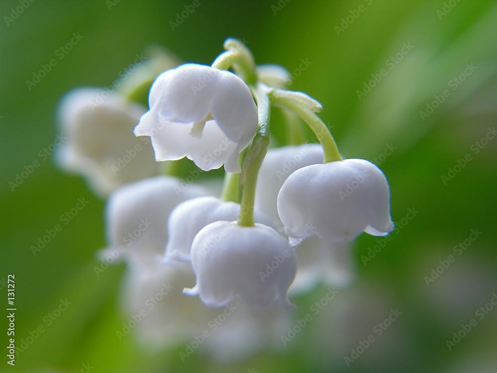 kwiat mayflower piękny - powiększenie
