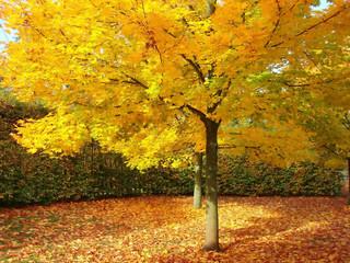 maple tree – fall