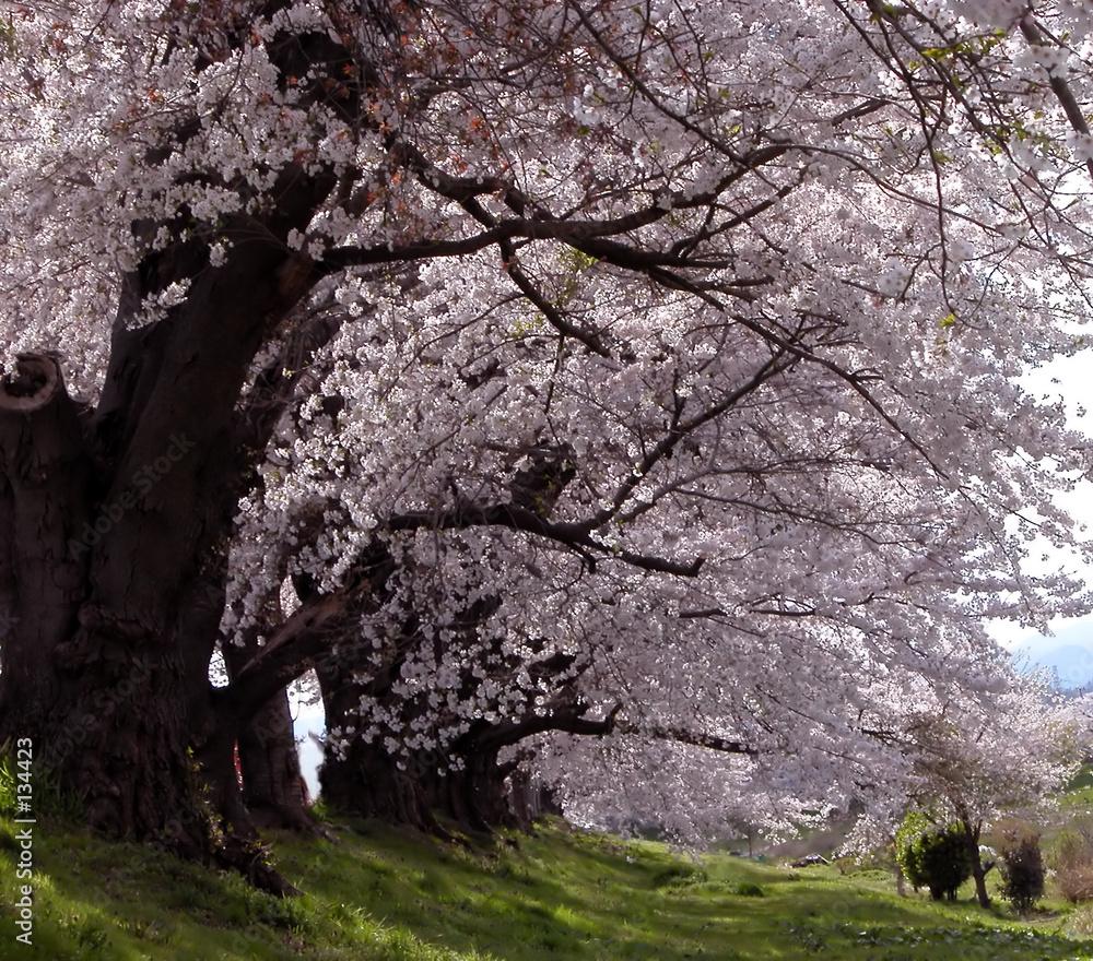 Tunel drzew - powiększenie