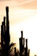 cactus silhouette