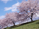 cherry trees poster