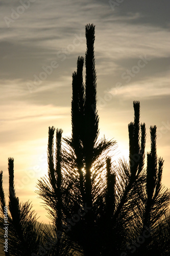 sun behind the cactus - silhouette