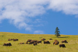 buffalo, national bison range poster