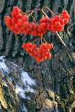 cluster of the frozen mountain ash poster