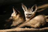 bat-eared fox cubs poster