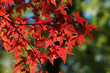 canvas print picture red japanese maple