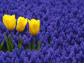 drei gelbe tulpen