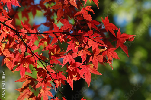 Leinwanddruck Bild red japanese maple