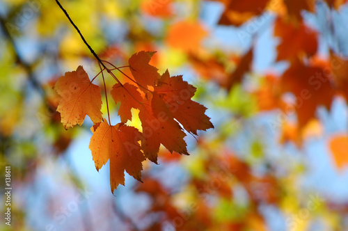 Leinwanddruck Bild maple leaves in autumn