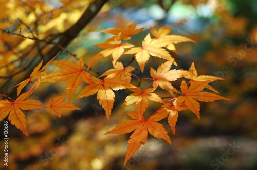 Leinwanddruck Bild japanese maple in autumn