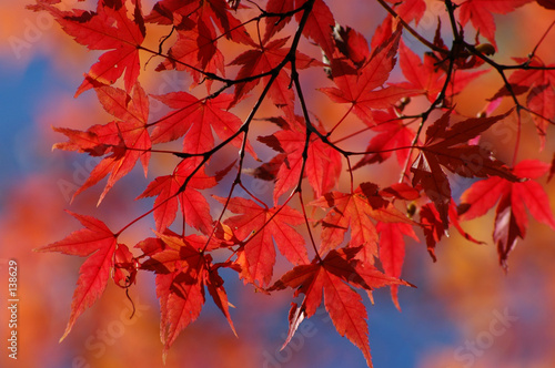 Leinwanddruck Bild red japanese maple in autumn
