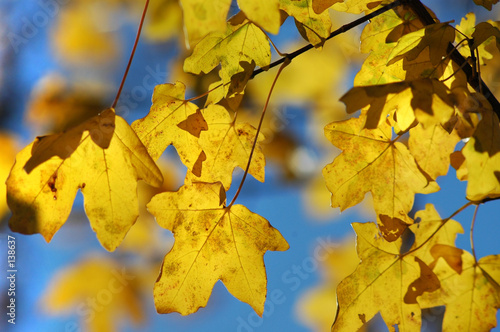 canvas print picture maple in autumn