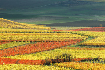vineyard in autumn/ germany