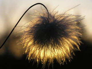 silhouette of clematis seed