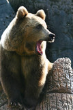 tired bear poster