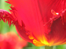 red and yellow tulip petals