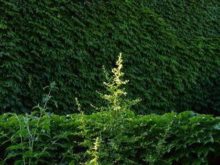 arbuste épineux