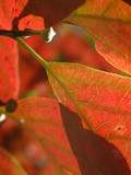 autumn colored red dogwood leaf poster