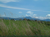 mt. mansfield vermont and vermont cows poster