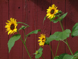yellow sunflowers against red barn poster