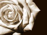 white rose - 147839
