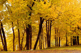 fall color, cork elm grove1 poster
