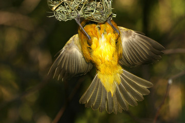 yellow bird entering nest