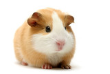 Fototapety guinea pig over white