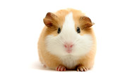 guinea pig over white poster