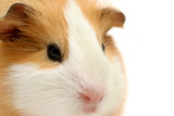 guinea pig closeup over white poster