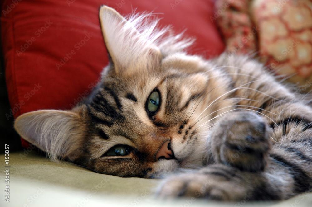 leniwy zwierzę felino - powiększenie