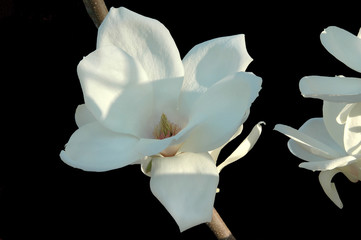 japanese magnolia blossom on a black background